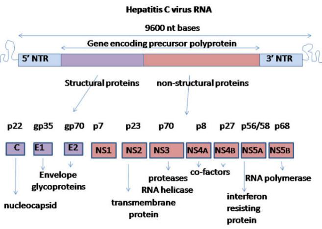 Risultati immagini per hcv genoma