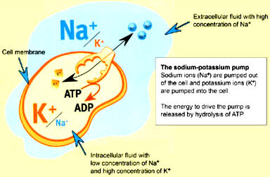 sodio potassio